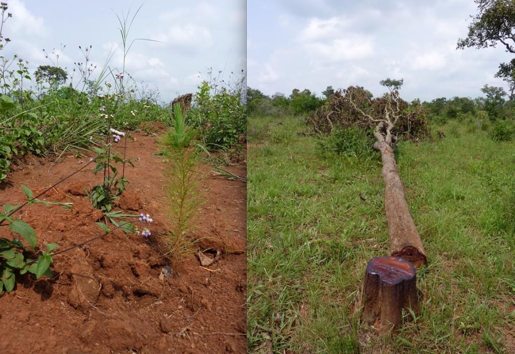 T.v: En liten planta som ska bli stor och skogen ska komma tillbaka. T.h: Nästan alla stora träd är nerhuggna, de flesta för kolbränning, det här kanske blir sågat till virke. Foto: Maria Holmberg